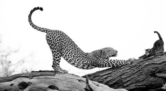 #KB5vyzva - 12 kroků ke zdraví, síle, a kondici: Leopard
